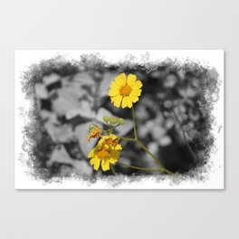 Butter Yellow Brittle Bush on Gray Selective Color Canvas Print