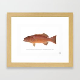 Common Coral Trout Framed Art Print