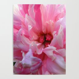 Blush - Pink Peony Poster