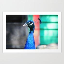 Peacock 1 Art Print