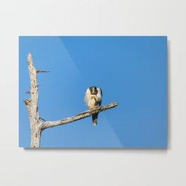 A Grumpy Peregine Falcon Metal Print