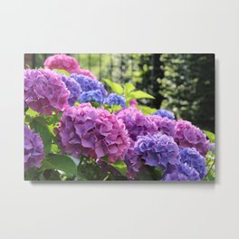 Gorgeous Pink and Blue Hydrangea Flowers Metal Print