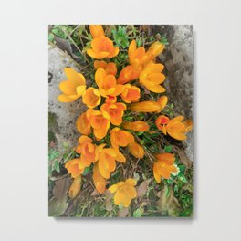 Golden Crocus In The Rockery Metal Print