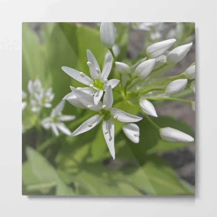 bear´s garlic bloom II Metal Print