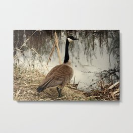 Canada Goose Standing by Water Metal Print