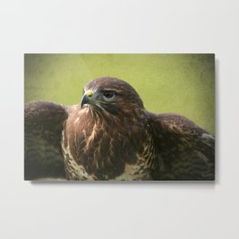 Common Buzzard II Metal Print