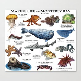 Marine Life of Monterey Bay Canvas Print
