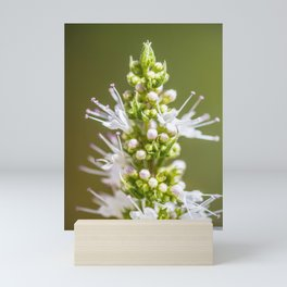 Mint plant white flower blossoming in summer close-up Mini Art Print