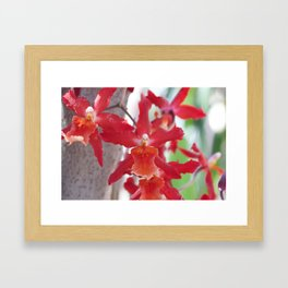 Exquisite Epidendrum Orchids Framed Art Print