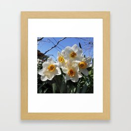 Sunny Faces of Spring - Gold and White Narcissus Flowers Framed Art Print