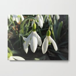 Snowdrops in the Sun Metal Print