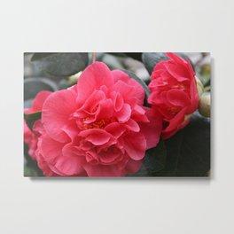 Pink Camellias Metal Print