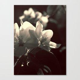 Apple Blossoms B&W Canvas Print