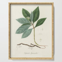 Cephaelis lpecacuanha illustration from Medical Botany (1836) by John Stephenson and James Morss Chu Serving Tray