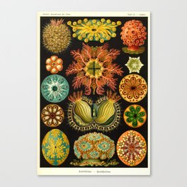 Vintage Ascidiae Print by Ernst Haeckel, 1904 Educational Chart Canvas Print