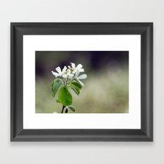 Malus flowers - spring 30 Framed Art Print