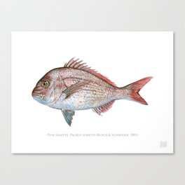 Pink Snapper Canvas Print
