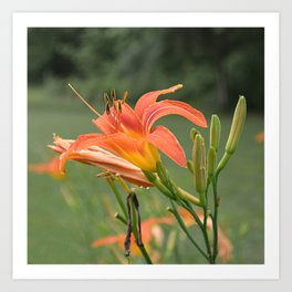 lily bloom and 9 buds Art Print