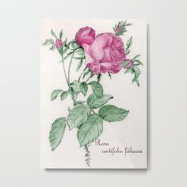 Rosa Centifolia Foliacea Metal Print
