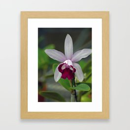 Cattleya Orchid (The Corsage Orchid) Framed Art Print