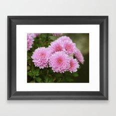 Pink Chrysanthemums Framed Art Print