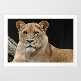 Beautiful big lion cat looking portrait on black background Art Print