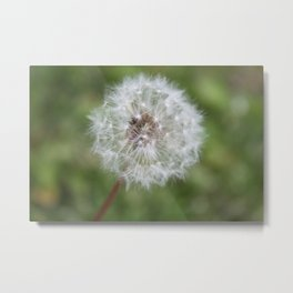 Dandelion in the Fluff Stage Metal Print