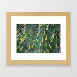 Weeping Caragana Flowers Framed Art Print