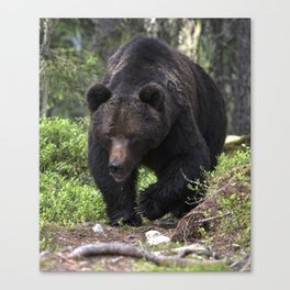 King of forest, male brown bear approaching Canvas Print