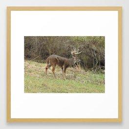 Beal Park Buck Framed Art Print