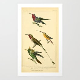 Garnet throated Hummingbird, Brasilian Hummingbird, Straigt billed Humming bird, Gigantic Hummingbird15 Art Print