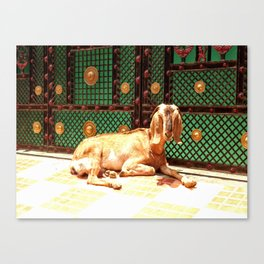 Varanasi Goat  Canvas Print