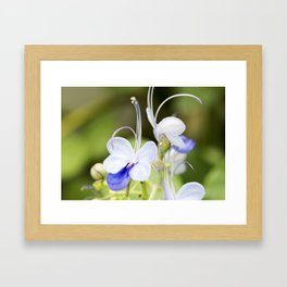 Blue Glory Bower Anthers Framed Art Print