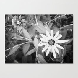 Black-eyed Susan 1 Black and White jjhelene Canvas Print
