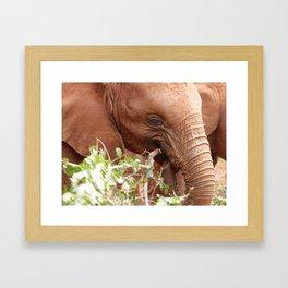 Young elephant feeding Framed Art Print