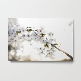 Cherry Tree Blossoms Metal Print