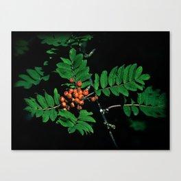 Rowan berry 1 Canvas Print