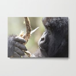 Wild mountain gorilla from up close in Rwanda | Travel photography Africa Metal Print