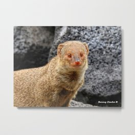 Mongoose Metal Print