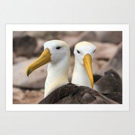 Waved Albatross birds in the Galapagos Art Print
