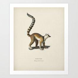 Ring-tailed Lemur (Lemur Catta) illustrated by Charles Dessalines D' Orbigny (1806-1876) Art Print
