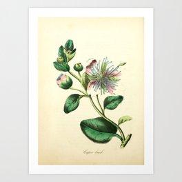 Flower Caper bush18 Art Print