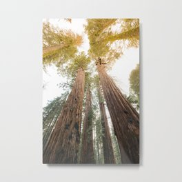Redwood Forest Canopy Sunset Metal Print