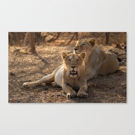 Asiatic Lion 8, Gir Forest, Gujrat, India Canvas Print