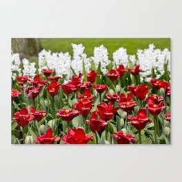 Red Tulip Field with White Hyacinth Flowers Blooming in the Background in Amsterdam, Netherlands Canvas Print