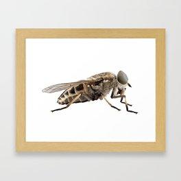 Large marsh horsefly species Tabanus autumnalis Framed Art Print
