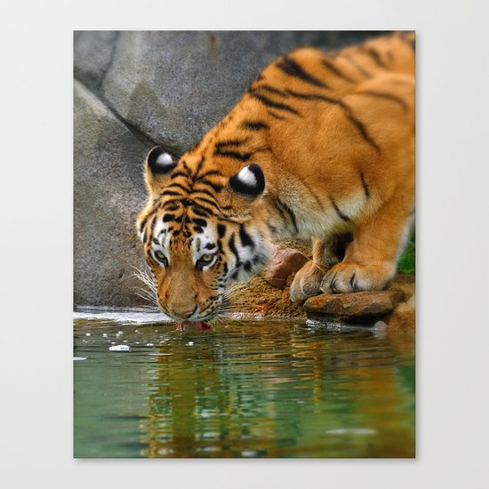 A thirsty Amur tiger. Canvas Print