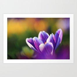 Crocus Flower in the Colorful Field in Spring Art Print
