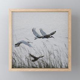 Sacred Ibis in flight Framed Mini Art Print