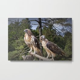 Pair of Red-tail Hawks Metal Print